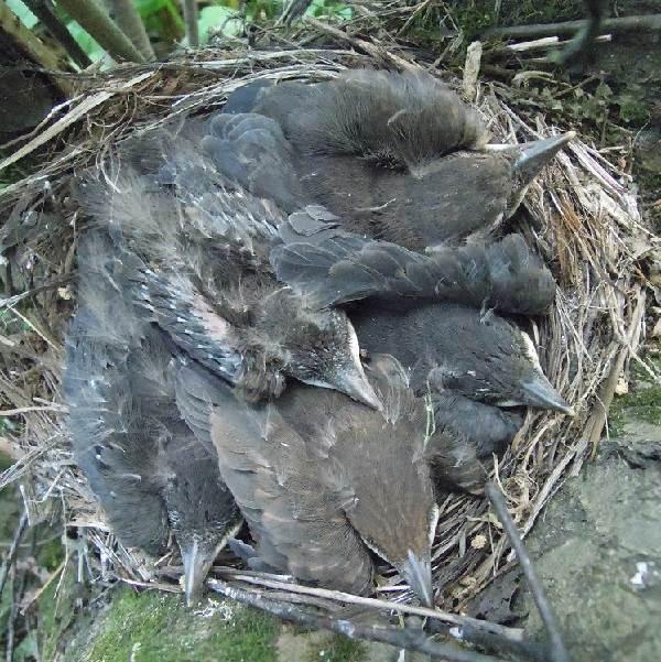 Черный-дрозд-птица-Описание-особенности-питание-и-размножение-черного-дрозда-23