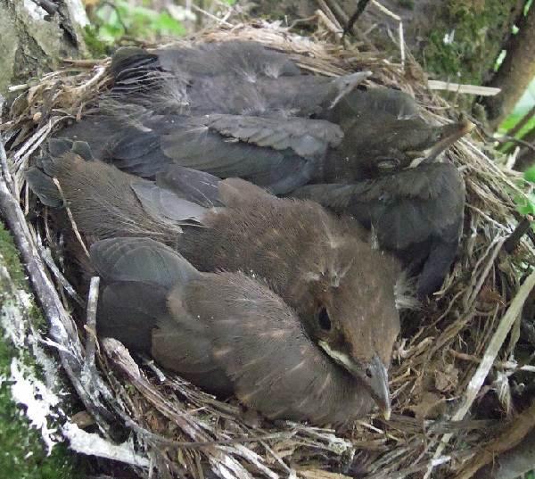 Черный-дрозд-птица-Описание-особенности-питание-и-размножение-черного-дрозда-24