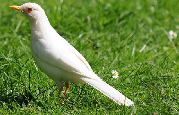 Черный-дрозд-птица-Описание-особенности-питание-и-размножение-черного-дрозда-26