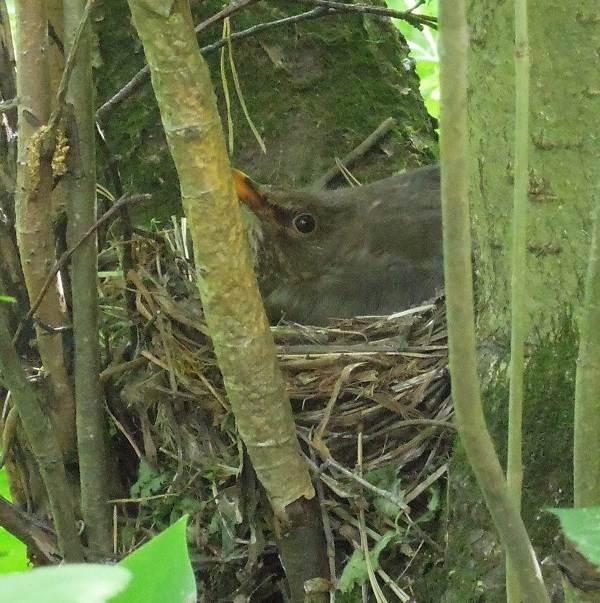 Черный-дрозд-птица-Описание-особенности-питание-и-размножение-черного-дрозда-4