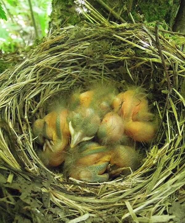 Черный-дрозд-птица-Описание-особенности-питание-и-размножение-черного-дрозда-8