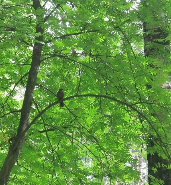 Черный-дрозд-птица-Описание-особенности-питание-и-размножение-черного-дрозда-9