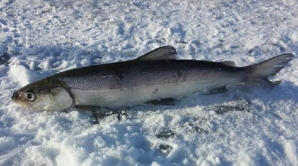 Нельма-рыба-Описание-особенности-образ-жизни-и-среда-обитания-рыбы-нельмы-3