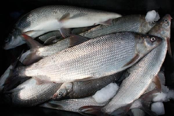 Нельма-рыба-Описание-особенности-образ-жизни-и-среда-обитания-рыбы-нельмы-5