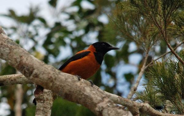 Птица-питоху-Описание-и-особенности-питоху-3