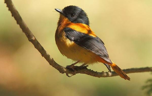 Птица-питоху-Описание-и-особенности-питоху-6