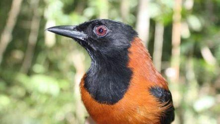 Птица питоху. Описание и особенности питоху