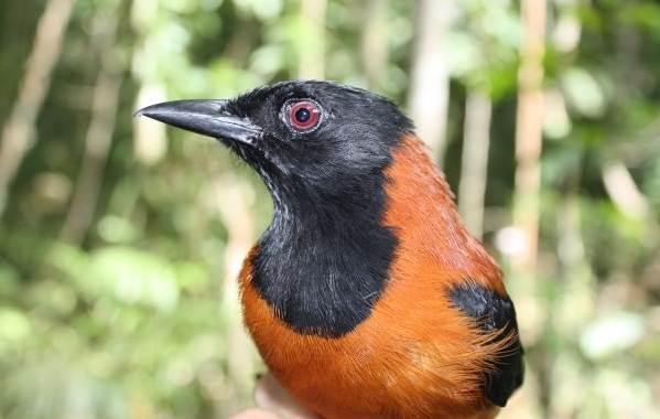 Птица-питоху-Описание-и-особенности-питоху-7