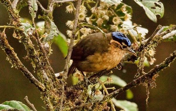 Птица-питоху-Описание-и-особенности-питоху-8