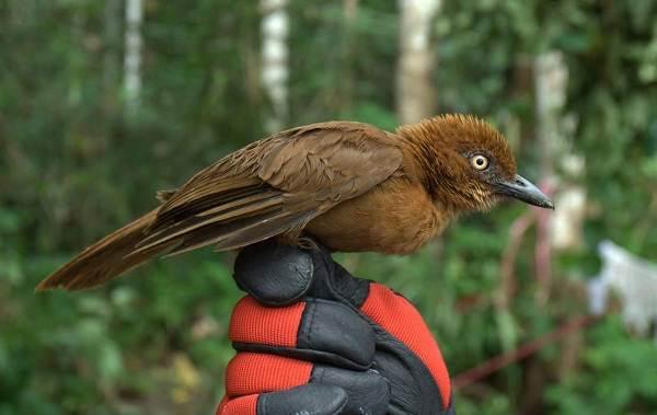 Птица-питоху-Описание-и-особенности-питоху