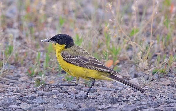 Птицы-Казахстана-Описания-названия-и-особенности-птиц-Казахстана-11