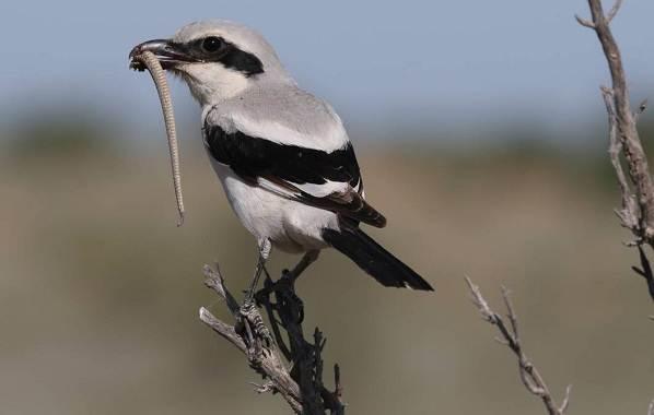 Птицы-Казахстана-Описания-названия-и-особенности-птиц-Казахстана-12