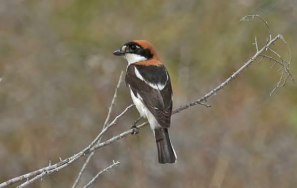 Птицы-Казахстана-Описания-названия-и-особенности-птиц-Казахстана-13