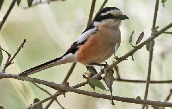 Птицы-Казахстана-Описания-названия-и-особенности-птиц-Казахстана-14