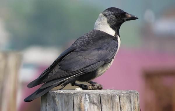 Птицы-Казахстана-Описания-названия-и-особенности-птиц-Казахстана-16