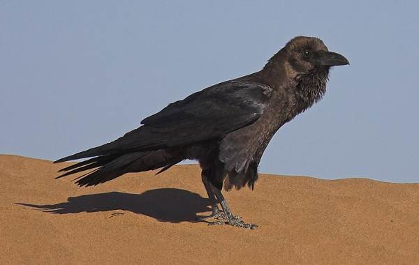 Птицы-Казахстана-Описания-названия-и-особенности-птиц-Казахстана-17