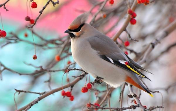 Птицы-Казахстана-Описания-названия-и-особенности-птиц-Казахстана-24