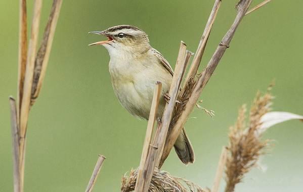 Птицы-Казахстана-Описания-названия-и-особенности-птиц-Казахстана-27