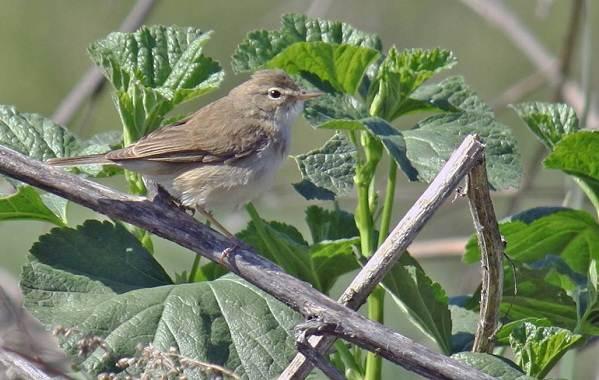 Птицы-Казахстана-Описания-названия-и-особенности-птиц-Казахстана-28