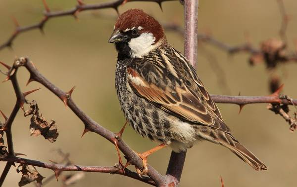 Птицы-Казахстана-Описания-названия-и-особенности-птиц-Казахстана-46