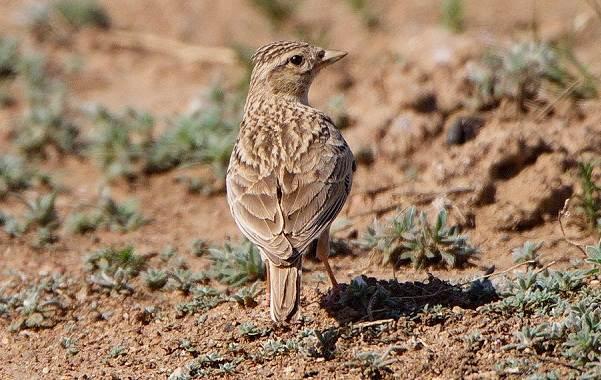 Птицы-Казахстана-Описания-названия-и-особенности-птиц-Казахстана-5