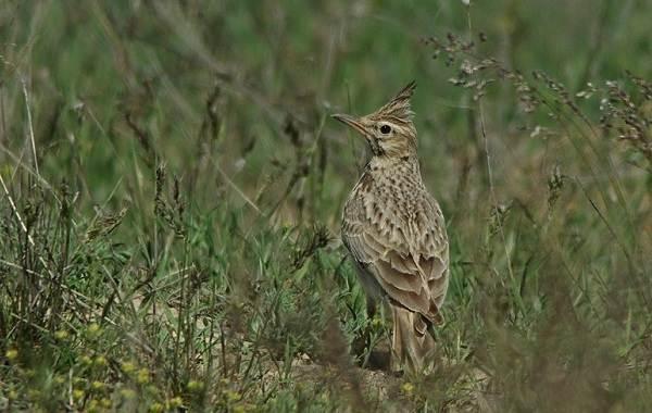 Птицы-Казахстана-Описания-названия-и-особенности-птиц-Казахстана-6