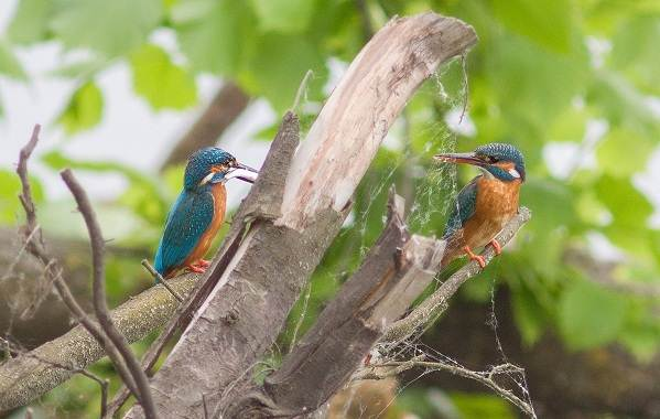 Птицы-Казахстана-Описания-названия-и-особенности-птиц-Казахстана-61