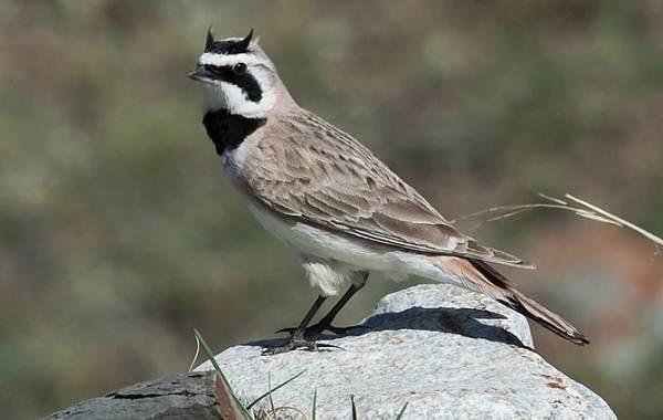 Птицы-Казахстана-Описания-названия-и-особенности-птиц-Казахстана-7
