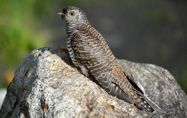 Птицы-Казахстана-Описания-названия-и-особенности-птиц-Казахстана-70