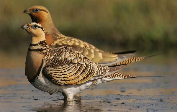 Птицы-Казахстана-Описания-названия-и-особенности-птиц-Казахстана-75