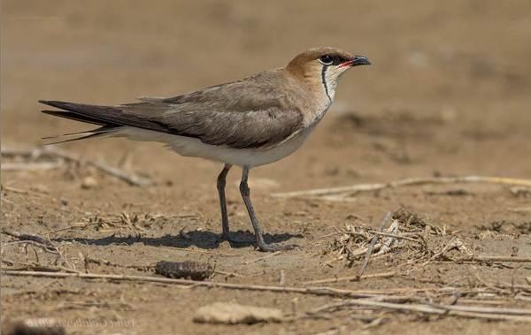 Птицы-Казахстана-Описания-названия-и-особенности-птиц-Казахстана-79