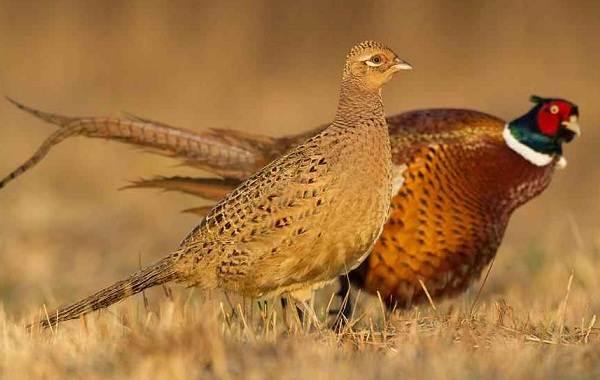 Птицы-Казахстана-Описания-названия-и-особенности-птиц-Казахстана-97