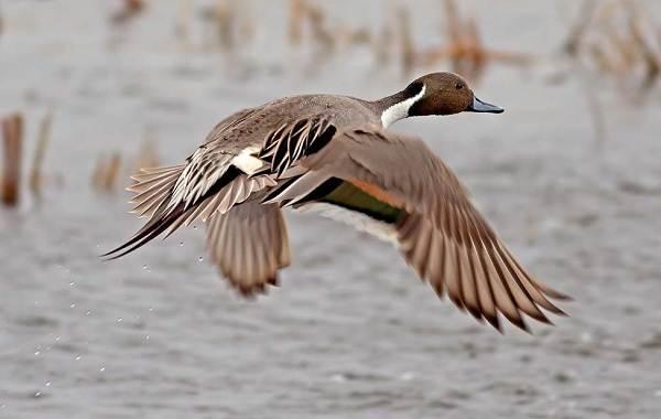 Шилохвость-птица-Описание-и-особенности-утки-шилохвость-10
