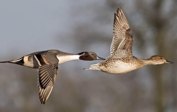 Шилохвость-птица-Описание-и-особенности-утки-шилохвость-12