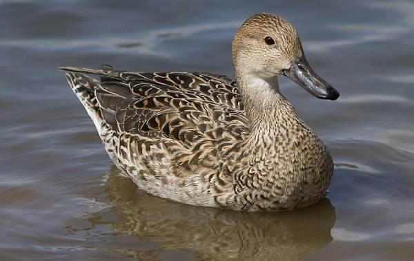 Шилохвость-птица-Описание-и-особенности-утки-шилохвость-2