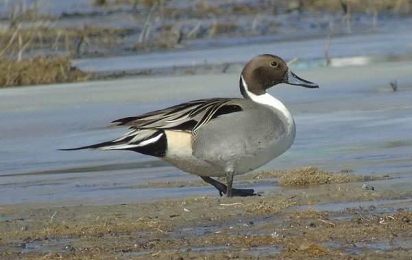 Шилохвость-птица-Описание-и-особенности-утки-шилохвость-3