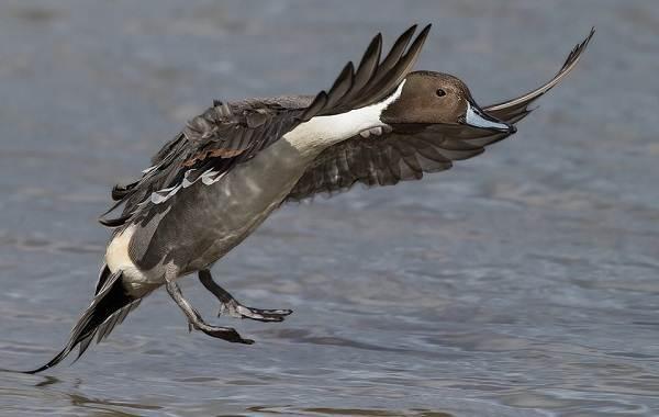 Шилохвость-птица-Описание-и-особенности-утки-шилохвость-4