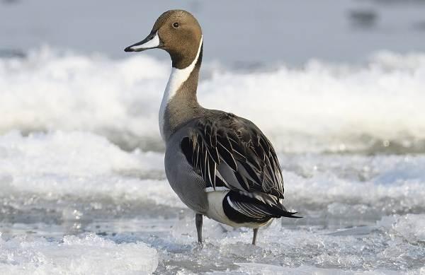 Шилохвость-птица-Описание-и-особенности-утки-шилохвость-5
