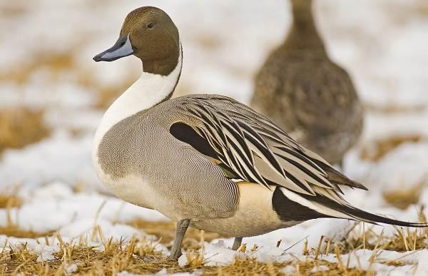 Шилохвость-птица-Описание-и-особенности-утки-шилохвость-6