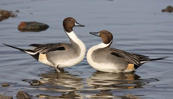 Шилохвость-птица-Описание-и-особенности-утки-шилохвость-8