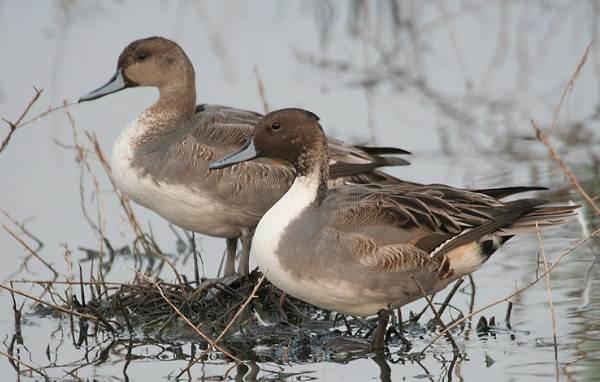 Шилохвость-птица-Описание-и-особенности-утки-шилохвость-9