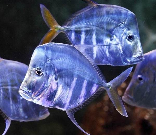 Вомер-рыба-Описание-особенности-виды-и-среда-обитания-вомера-1