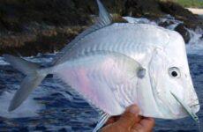 Вомер рыба. Описание, особенности, виды и среда обитания вомера