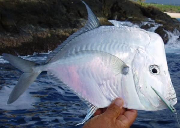 Вомер-рыба-Описание-особенности-виды-и-среда-обитания-вомера-2