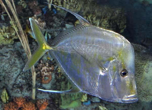 Вомер-рыба-Описание-особенности-виды-и-среда-обитания-вомера-3