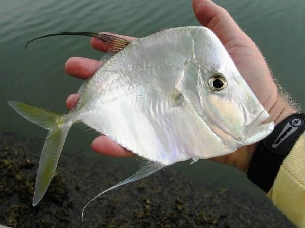 Вомер-рыба-Описание-особенности-виды-и-среда-обитания-вомера-6
