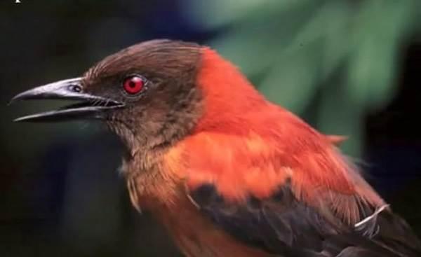 Ядовитые-птицы-Описание-особенности-и-названия-ядовитых-птиц-4