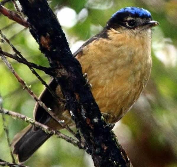 Ядовитые-птицы-Описание-особенности-и-названия-ядовитых-птиц-6