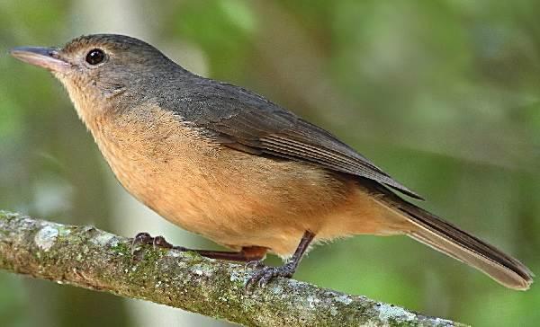 Ядовитые-птицы-Описание-особенности-и-названия-ядовитых-птиц-7