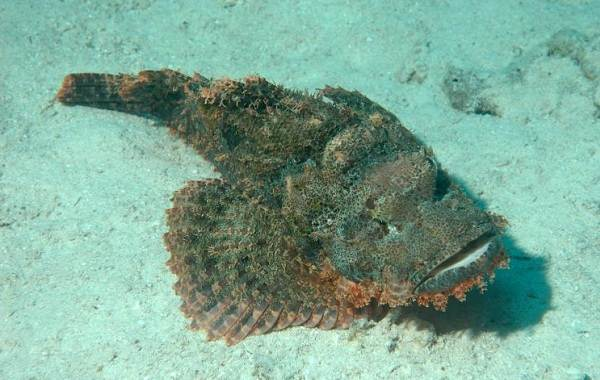 Ядовитые-рыбы-Описания-особенности-и-названия-ядовитых-рыб-10